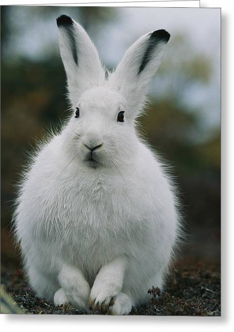 Portrait Of An Arctic Hare Greeting Card by Norbert Rosing