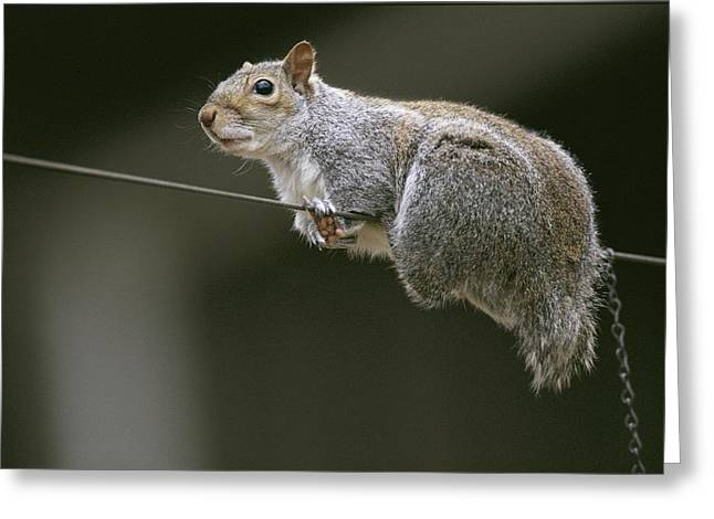 Portrait Of An Eastern Gray Squirrel Greeting Card by Chris Johns