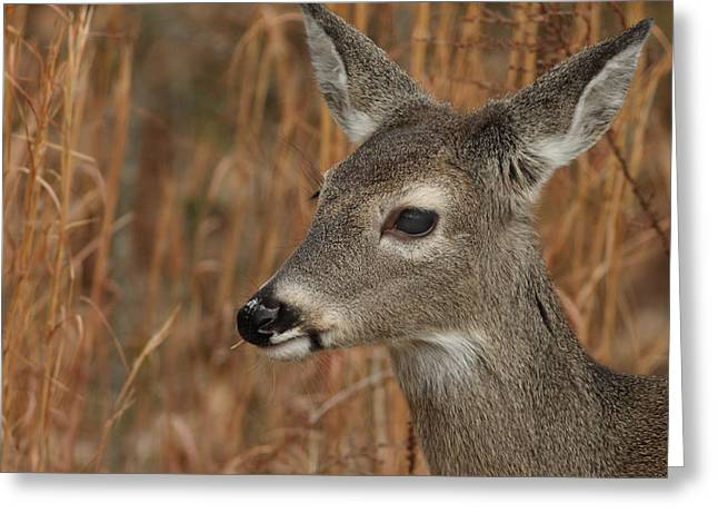 Portrait Of  Browsing Deer Greeting Card