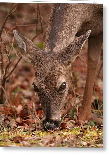 Portrait Of  Browsing Deer Two Greeting Card