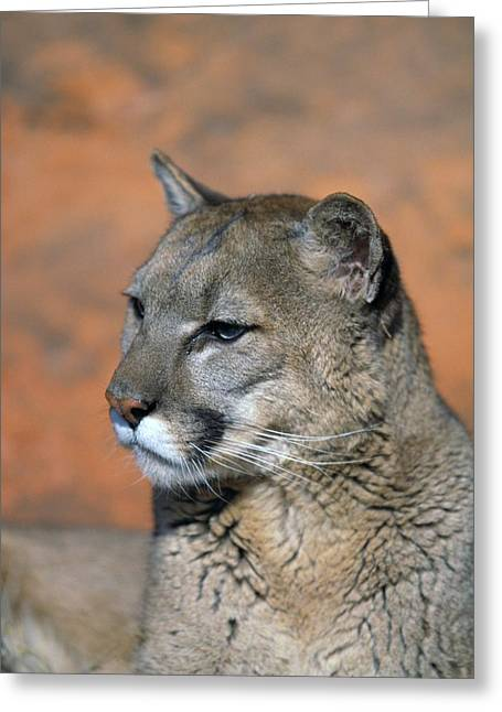 Portrait Of Mountain Lion Greeting Card by Natural Selection David Ponton