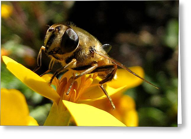 Greeting Card featuring the photograph Posing Honey Bee by Jacqi Elmslie