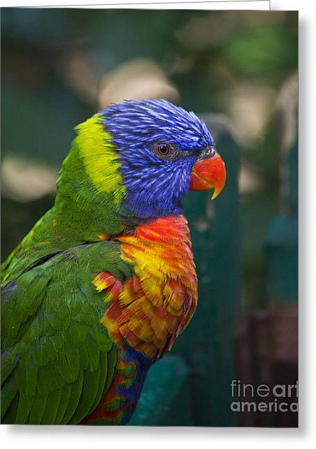 Posing Rainbow Lorikeet. Greeting Card