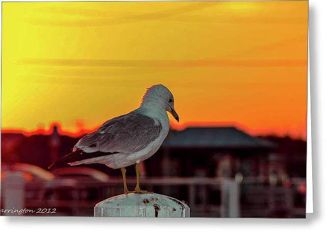 Posing Seagull Greeting Card by Shannon Harrington