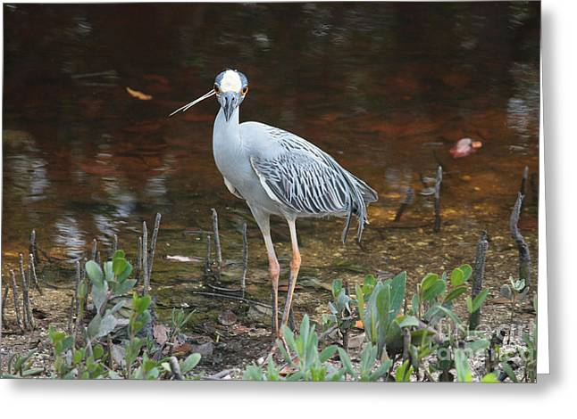 Posing Yellow-crowned Night Heron Greeting Card by Carol Groenen