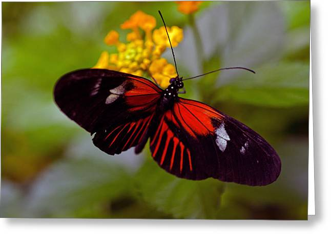 Postman Butterfly Greeting Card by Cheryl Cencich