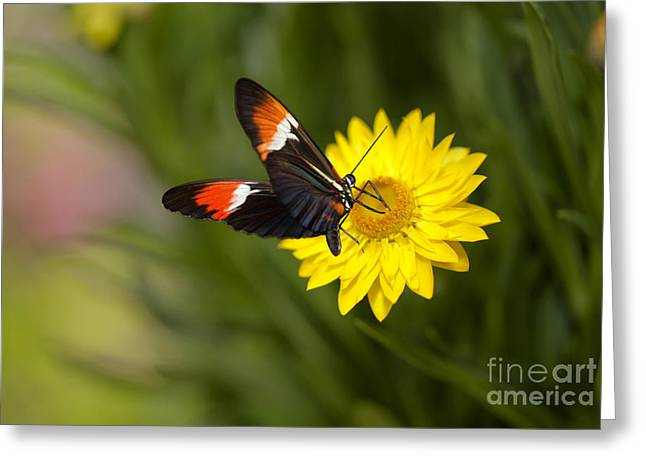 Postman Butterfly On Yellow Straw Flower Greeting Card