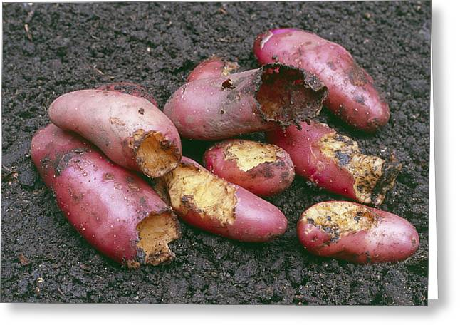 Potatoes Eaten By Pests Greeting Card