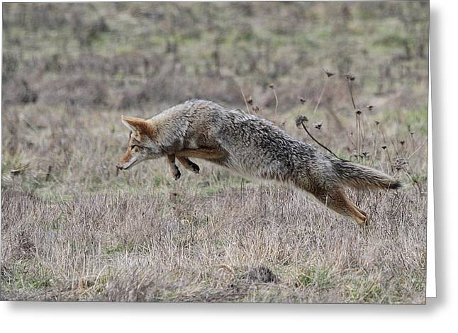 Pouncing Coyote Greeting Card by Angie Vogel