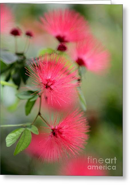 Powder Puff Flowers Greeting Card by Sabrina L Ryan