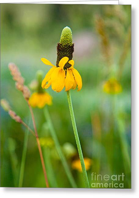 Prairie Coneflower Greeting Card