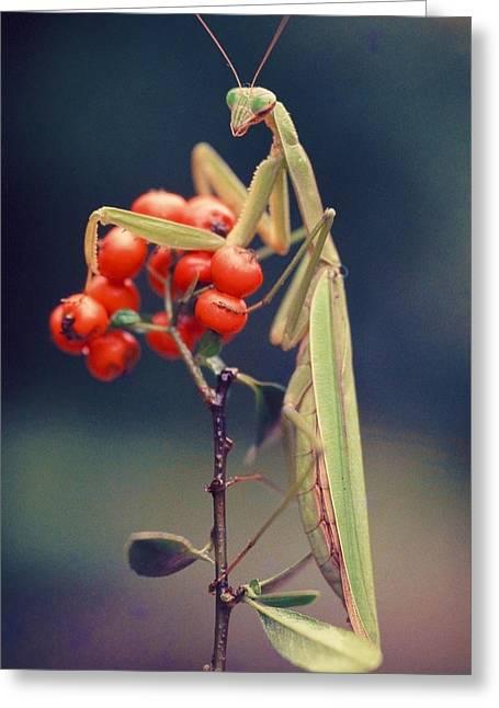 Praying Mantis Greeting Card by Alfredo Da Silva