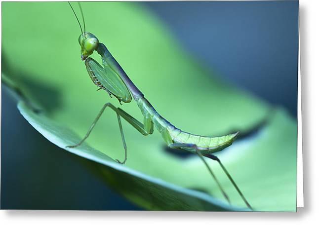 Praying Mantis IIi Greeting Card