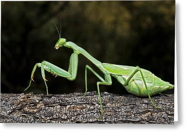 Praying Mantis Perched On A Tree Greeting Card