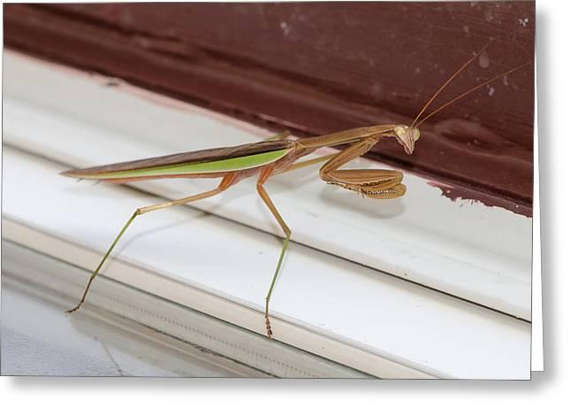 Praying Mantis Greeting Card by Shirley Tinkham