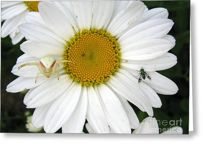 Predator Upon A Flower The Goldenrod Crab Spider Greeting Card by Stephanie Bergman