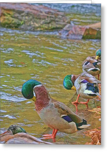 Greeting Card featuring the photograph Preening Drakes In A Row by Gregory Scott