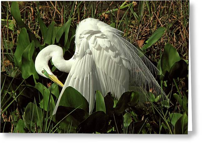 Preening Egret Greeting Card by Peg Urban