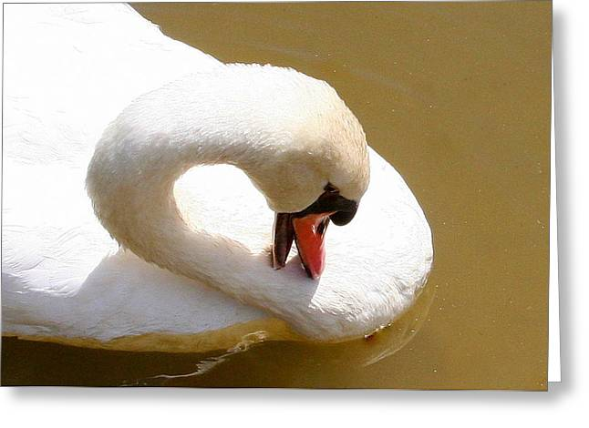 Greeting Card featuring the photograph Preening Swan Two by Paula Tohline Calhoun