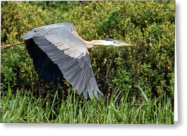 prehistoric looking Great Blue Heron Greeting Card