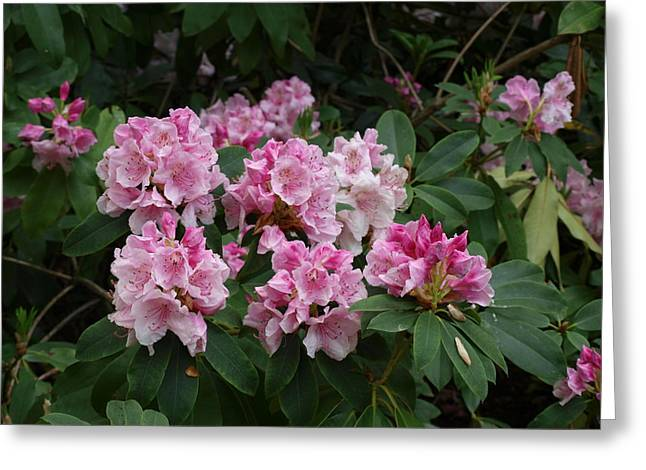 Pretty In Pink Greeting Card by Larry Krussel