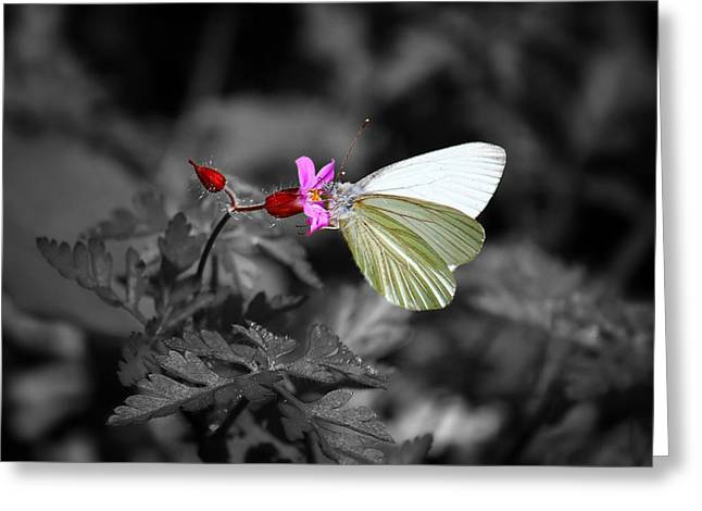 Pretty Margined White Butterfly Greeting Card