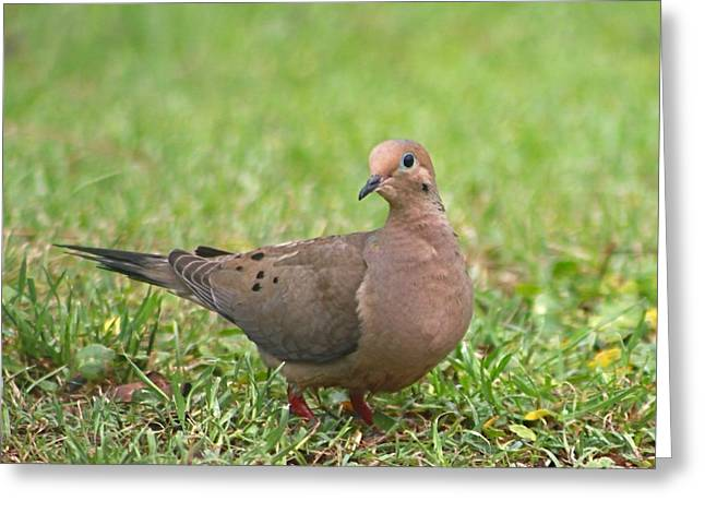 Pretty Mourning Dove Greeting Card
