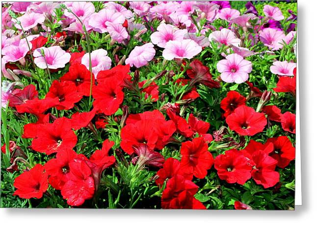 Pretty Petunias Greeting Card by Laurel Talabere