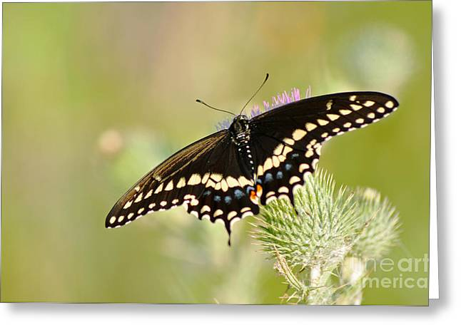 Pretty Swallowtail Greeting Card by Ginger Harris