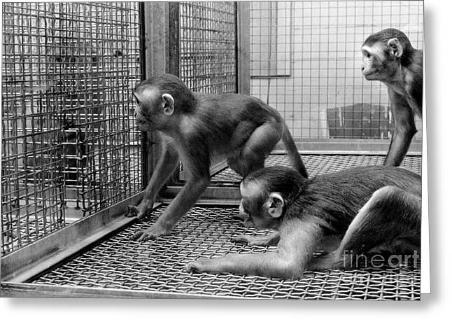 Primate Research Greeting Card by Science Source