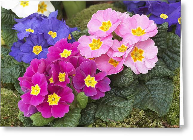 Primrose Primula Sp Flowers Greeting Card by VisionsPictures