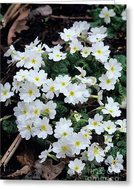 Primroses Greeting Card by Adrian Thomas