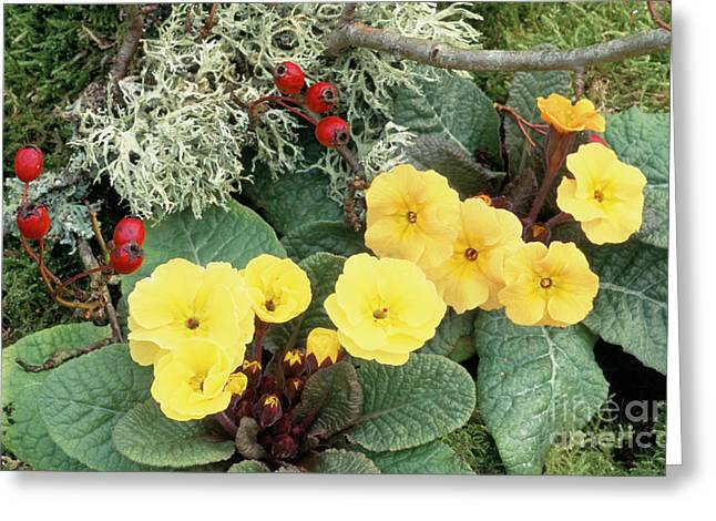 Primroses Greeting Card by Archie Young