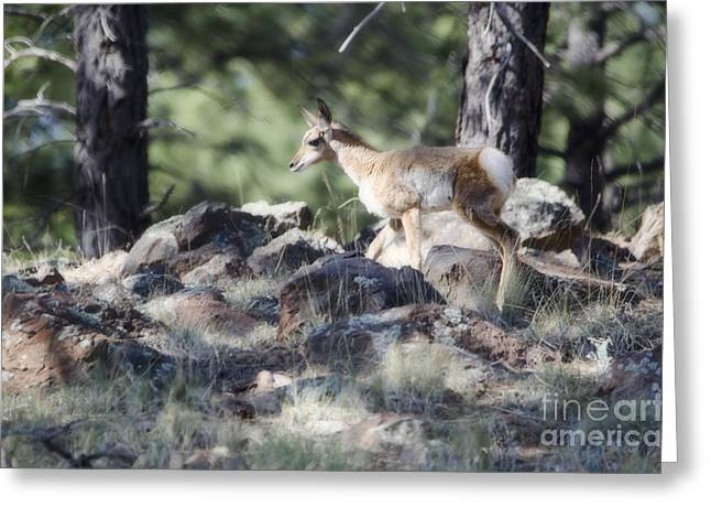 Pronghorn Antelope Fawn Greeting Card