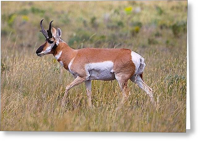Pronghorn Buck Greeting Card by Drusilla Montemayor
