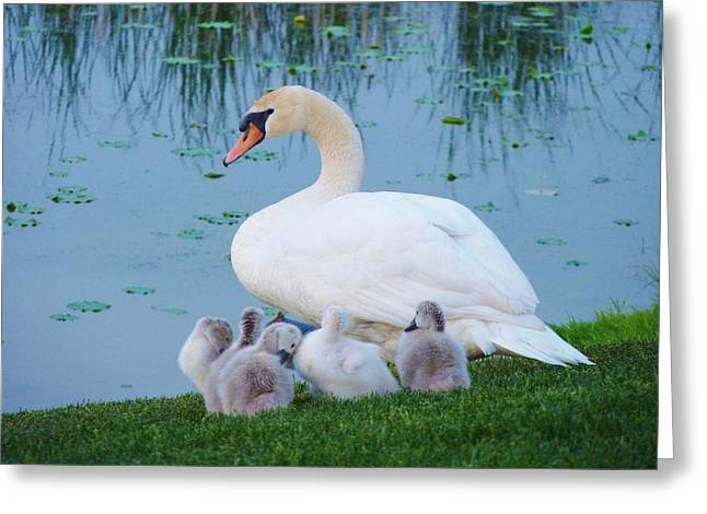 Proud Mother Swan Greeting Card by Jeanette Oberholtzer