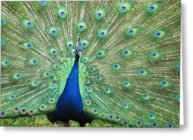 Proud Peacock Greeting Card by Bonnie Muir