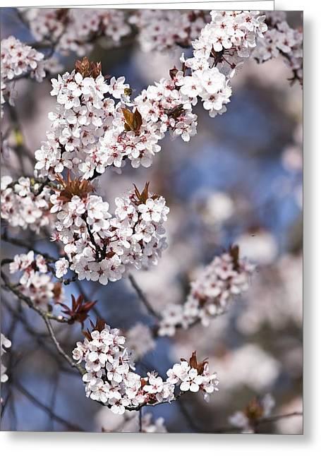 Prunus Cerasifera 'nigra' Greeting Card by Adrian Bicker