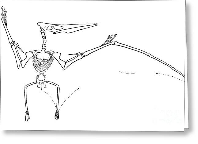 Pteranodon Longiceps Greeting Card by Science Source