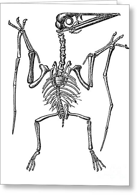 Pterodactylus, Extinct Flying Reptile Greeting Card by Science Source