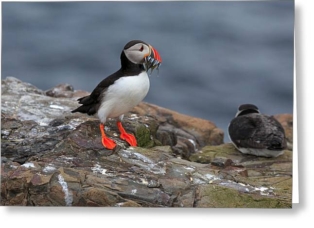 Puffin With Sand Eels Greeting Card by Louise Heusinkveld