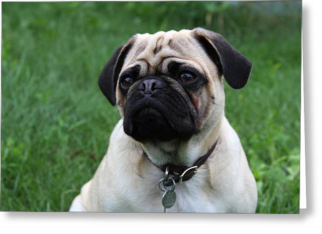 Pug Pup Greeting Card by Kim French