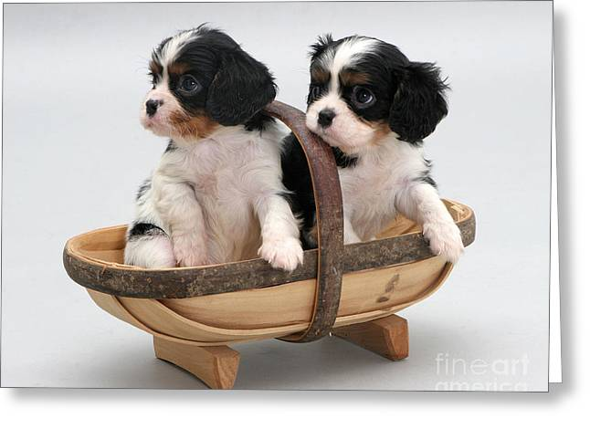 Puppies In A Trug Greeting Card by Jane Burton