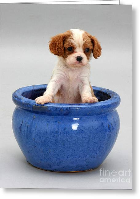Puppy In A Pot Greeting Card by Jane Burton