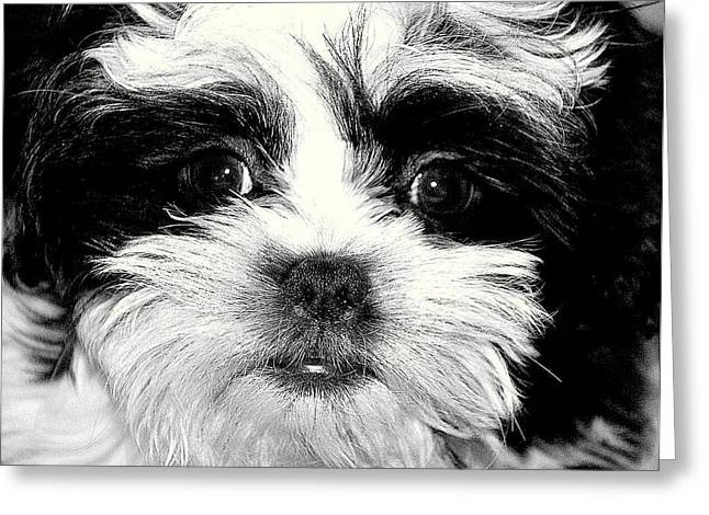Puppy Love Greeting Card by Antonia Citrino