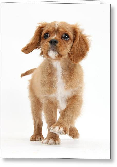 Puppy Trotting Foward Greeting Card by Mark Taylor