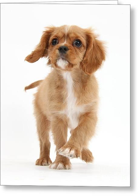 Puppy Trotting Foward Greeting Card