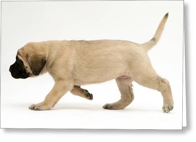 Puppy Trotting Greeting Card by Jane Burton
