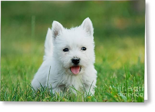 Puppy West Highland White Terrier Greeting Card by Waldek Dabrowski