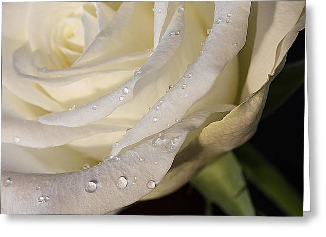 Purity Greeting Card by Shirley Mitchell
